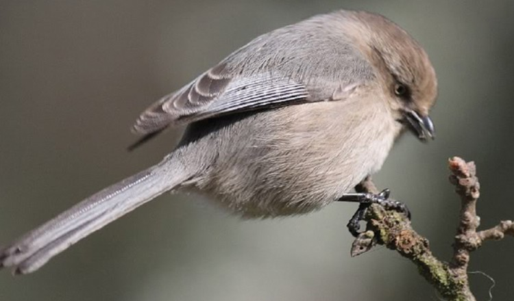 Bridled Titmouse