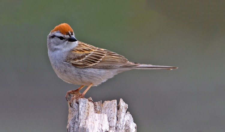 Birdlife Chipping Sparrow