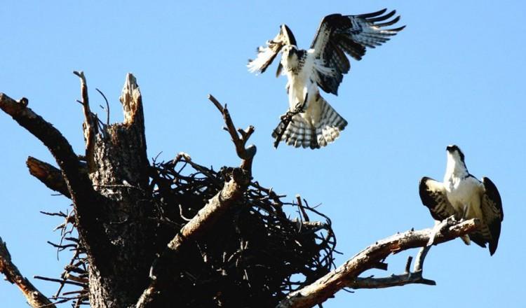Birdlife Osprey Hawk