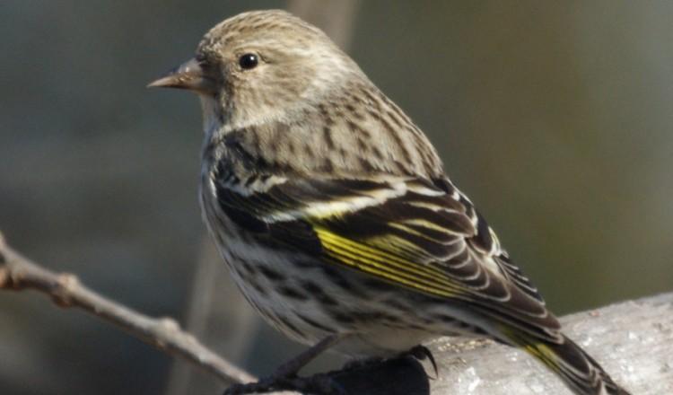 Birdlife Pine SIskin