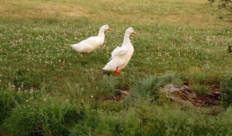 Birdlife White Geese