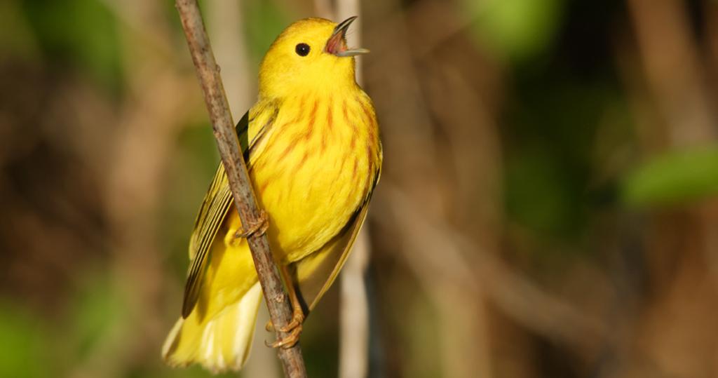 Birdlife Yellow Warbler, Arizona
