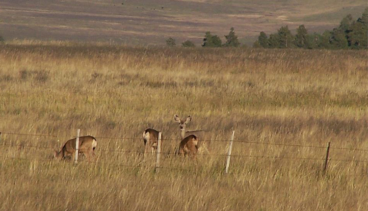 Deer, Wildlife Viewing - Greer, Arizona
