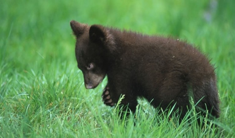 Wildlife Bear Cub