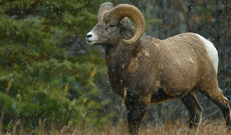 Wildlife Big Horn Sheep
