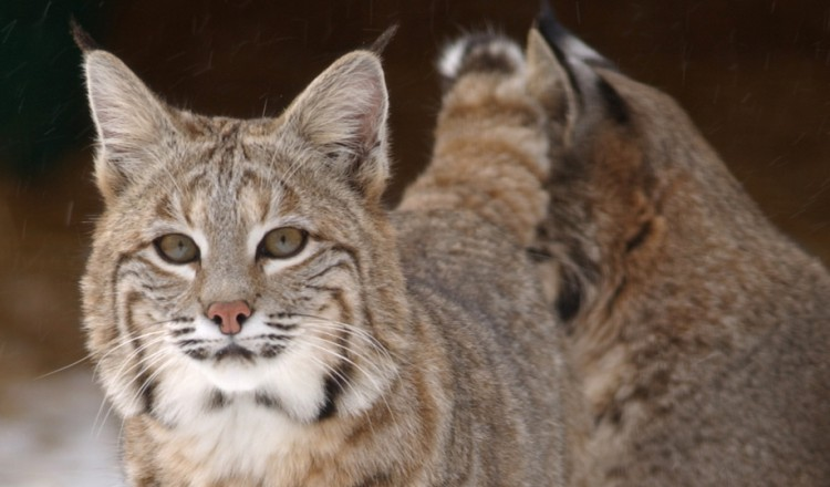 Wildlife Bobcat