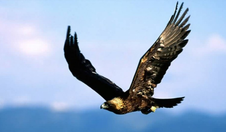 Wildlife Golden Eagle