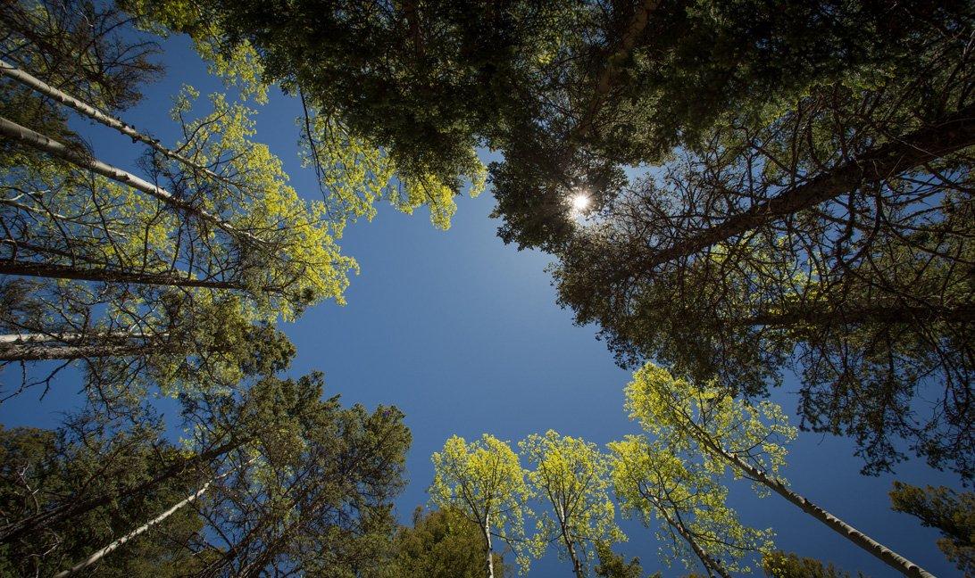 Aspen Trees & Ponderosa Pines