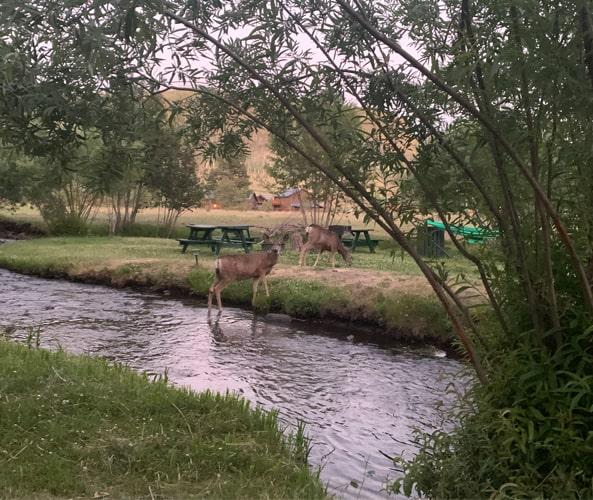 Deer crossing Little Colorado River in Greer